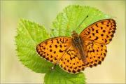 Brombeer-Perlmuttfalter (Brenthis daphne) 02