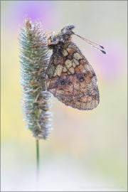 Mädesüß Perlmuttfalter (Brenthis ino) 03