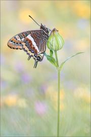 Erdbeerbaumfalter (Charaxes jasius) 02
