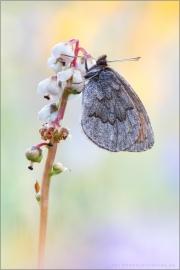 Graubrauner Mohrenfalter 01 (Erebia pandrose)