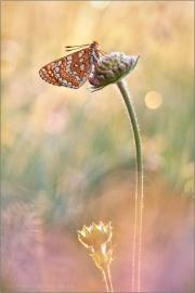 Goldener Scheckenfalter (Euphydryas aurinia beckeri) 25
