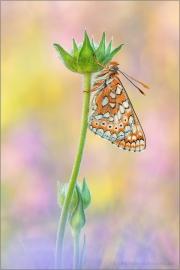 Goldener Scheckenfalter (Euphydryas aurinia) 24