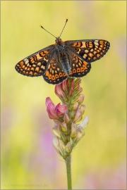 Goldener Scheckenfalter (Euphydryas aurinia) 23