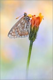 Alpiner Skabiosenscheckenfalter (Euphydryas aurinia debilis) 03