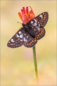 Veilchen-Scheckenfalter (Euphydryas cynthia) 02