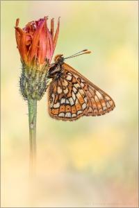 Veilchen-Scheckenfalter (Euphydryas cynthia) 01