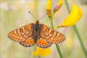 Goldener Scheckenfalter 12 (Euphydryas aurinia)