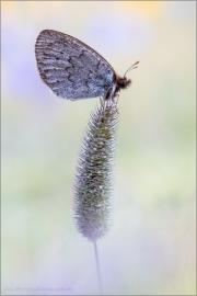 Graubrauner Mohrenfalter 02 (Erebia pandrose)