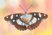 Blauschwarzer Eisvogel (Limenitis reducta) 04