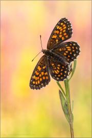 Wachtelweizen-Scheckenfalter 15 (Melitaea athalia)
