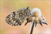 Wachtelweizen-Scheckenfalter 12 (Melitaea athalia)