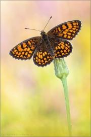 Südwestlicher Wachtelweizen-Scheckenfalter (Melitaea celadussa) 04