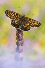 Wegerich-Scheckenfalter (Melitaea cinxia) 10