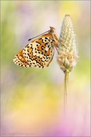 Wegerich-Scheckenfalter (Melitaea cinxia) 09