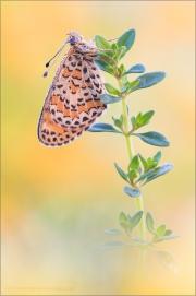 Bräunlicher Scheckenfalter (Melitaea trivia) 06