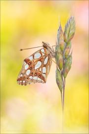 Kleiner Perlmutterfalter (Issoria lathonia) 08