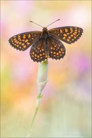 Östlicher Scheckenfalter (Melitaea britomartis) 02