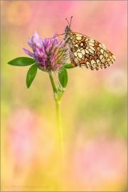 Wachtelweizen-Scheckenfalter 11 (Melitaea athalia)