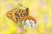 Großer Perlmutterfalter (Speyeria aglaja) 04