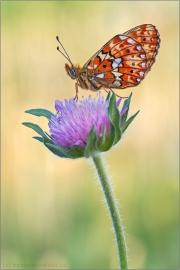 Silberfleck Perlmutterfalter (Boloria euphrosyne) 04