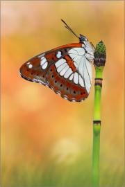 Blauschwarzer Eisvogel (Limenitis reducta) 01
