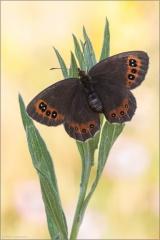 Graubindiger Mohrenfalter (Erebia aethiops) 02