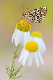 Flockenblumen-Scheckenfalter 05 (Melitaea phoebe)