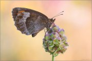 Graubindiger Mohrenfalter (Erebia aethiops) 01