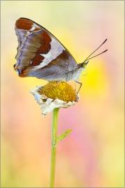 Großer Schillerfalter (Apatura iris) 02