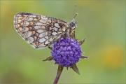 Wachtelweizen-Scheckenfalter 01 (Melitaea athalia)