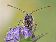 Wachtelweizen-Scheckenfalter 02 (Melitaea athalia)