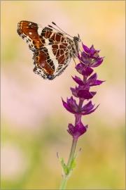 Landkärtchenfalter 01 (Araschnia levana)