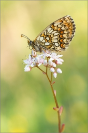 Wachtelweizen-Scheckenfalter 03 (Melitaea athalia)