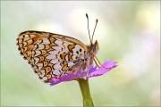 Flockenblumen-Scheckenfalter 02 (Melitaea phoebe)