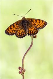 Westlicher Scheckenfalter 02 (Melitaea parthenoides)