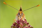 Wegerich-Scheckenfalter 05 (Melitaea cinxia)