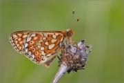 Goldener Scheckenfalter 05 (Euphydryas aurinia)