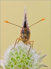 Ehrenpreis-Scheckenfalter 03 (Melitaea aurelia)