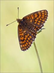Ehrenpreis-Scheckenfalter 04 (Melitaea aurelia)