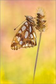 Kleiner Perlmutterfalter (Issoria lathonia) 04