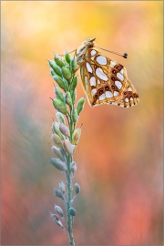 Kleiner Perlmuttfalter (Issoria lathonia) 01