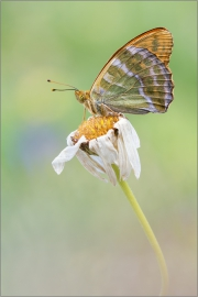 Kaisermantel 01 (Argynnis paphia)