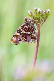Landkärtchenfalter 04 (Araschnia levana)