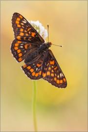 Maivogel (Euphydryas maturna) 02