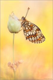 Wachtelweizen-Scheckenfalter 04 (Melitaea athalia)