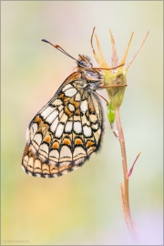 Westalpiner Scheckenfalter (Melitaea varia) 01