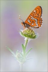 Maivogel (Euphydryas maturna) 03