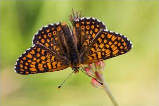 Wegerich-Scheckenfalter 04 (Melitaea cinxia)