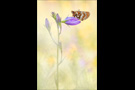 Westalpiner Scheckenfalter (Melitaea varia) 10