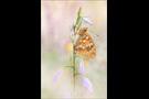 Feuriger Perlmutterfalter (Argynnis adippe) 04